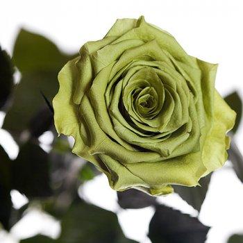 Долгосвежая жива троянда Florich в подарунковій упаковці - Лаймовий нефрит 5 карат на короткому стеблі (1115-GR01)