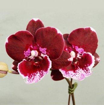 Орхідея Phal. GC Reyoung Cosmos, 1.7 підліток (Miki-Orchid)