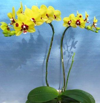 Орхідея Phal. Haur Jin Princess Dragon Tree Gold 2.5 підліток (Miki-Orchid)