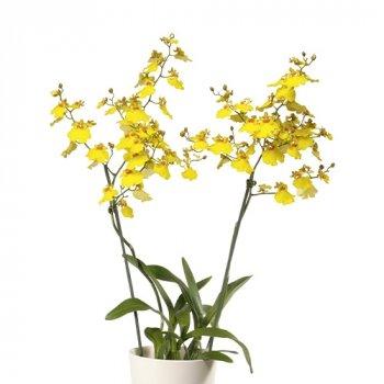 Орхідея Oncidium Sweet Sugar Жовтий Кімнатні квіти в горщику Florium (916306)