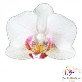 Фаленопсис Exquisite Forest (мультифлора) Білий, бежевий, кремовий Кімнатні квіти в горщику Florium (916317)