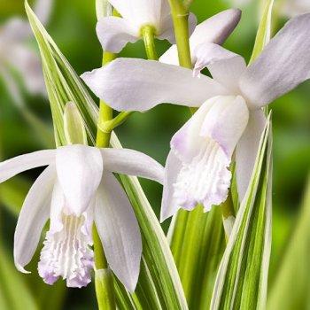 Блетилла Striata Alba Variegated Білий, бежевий, кремовий Саджанці Florium (344017)