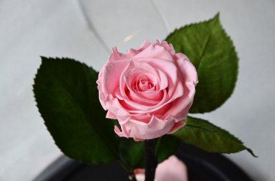Стабилизированная роза в колбе Etoile Flora Невинный розовый 26 см (26R-0802)