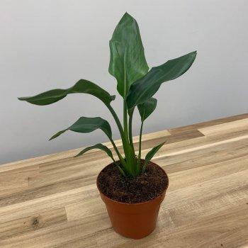 Райская Птица️ Cтрелиция Королевская Strelitzia Reginae (цветение на фото - декор), 30-40 см, объем горшка 1л