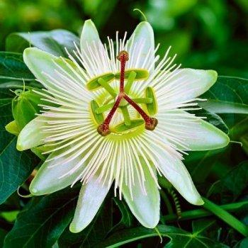 Пассіфлора, сорт Кавалерійська зірка, висота до 25см