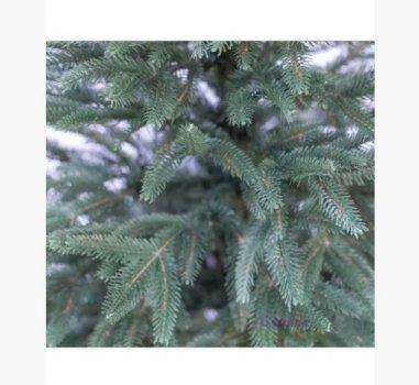 Карпатська Смерека Лита зелена 2,1 м