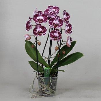 Орхідея Фаленопсис Бьютіфул Асіан Перл 2 гілки каскад 65 см пластиковому горщику - Supergreeny - арт. 00000008343