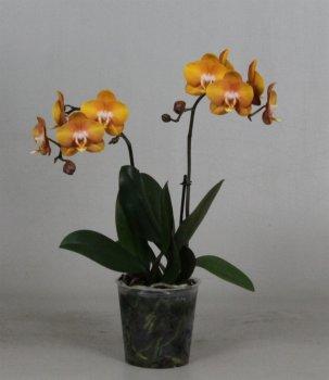 Орхідея Фаленопсис Лас Вегас 2 гілки - Supergreeny - арт. 00000002848