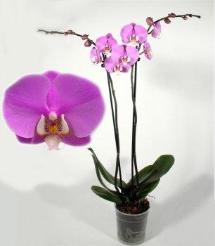 Орхідея Фаленопсис Люксор 2 гілки - Supergreeny - арт. 00000013253