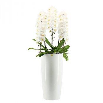 Королевська орхідея японська гора +60 - Supergreeny - арт. 00000015243