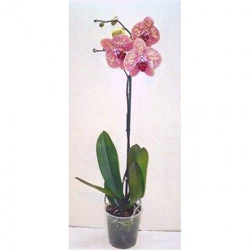 Орхідея Фаленопсис Дикий персик 1 гілка - Supergreeny - арт. 00000013304